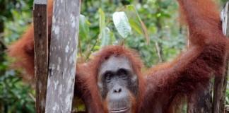 orangutan na Borneu