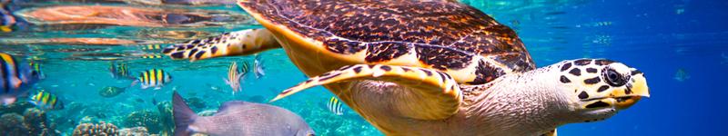 Maldivy korytnačka