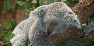 koala medvedík v austrálii na strome spí