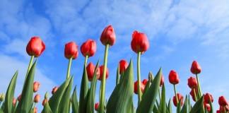tulipany v holandsku