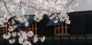 japonská čerešna