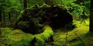 nórsky zelený les padnutý strom