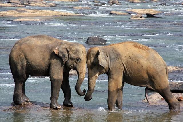 slony na sri lanke
