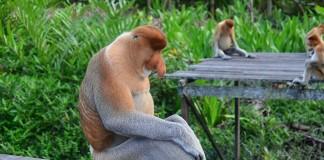 opice na borneu