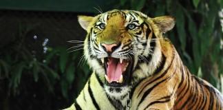 thajský tiger
