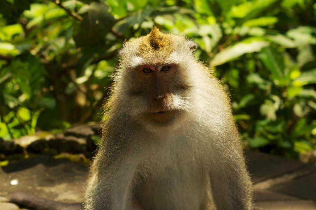 Opica na Bali