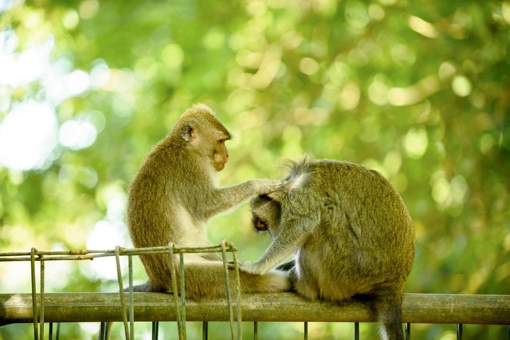 makaky bali ubud