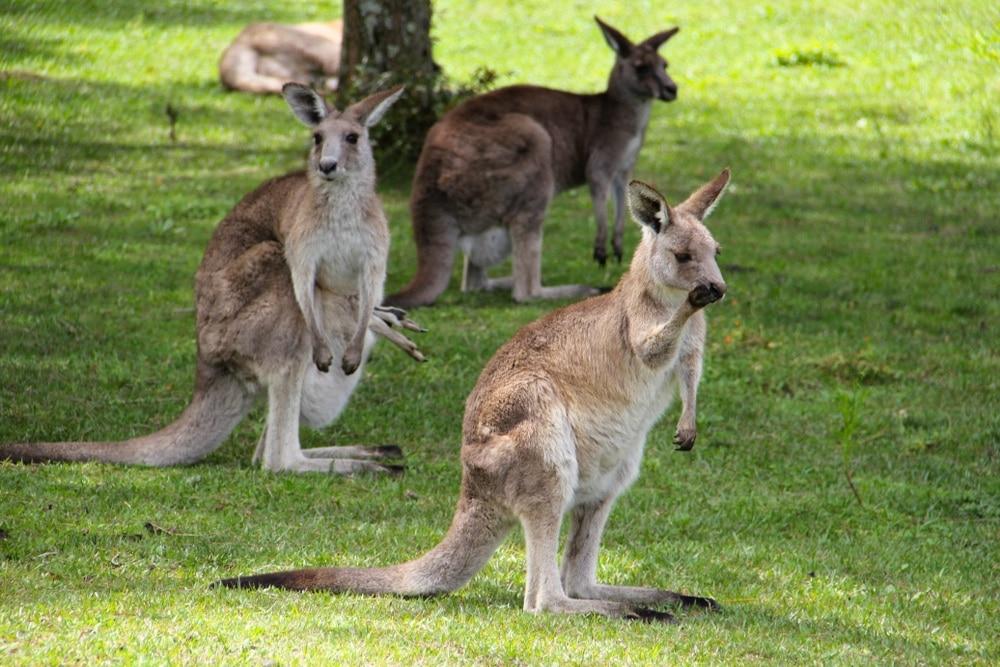kengury perth