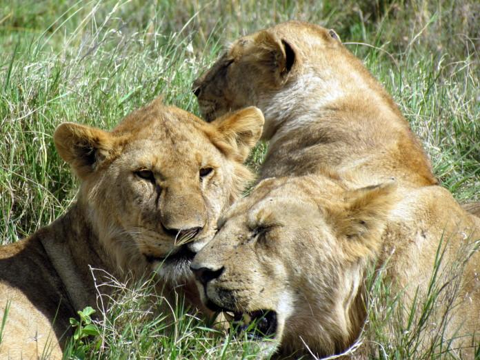 Levy v Juhoafrickej Republike