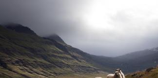 Ovce na Islande