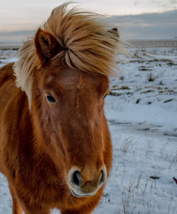 Kôň na Islande