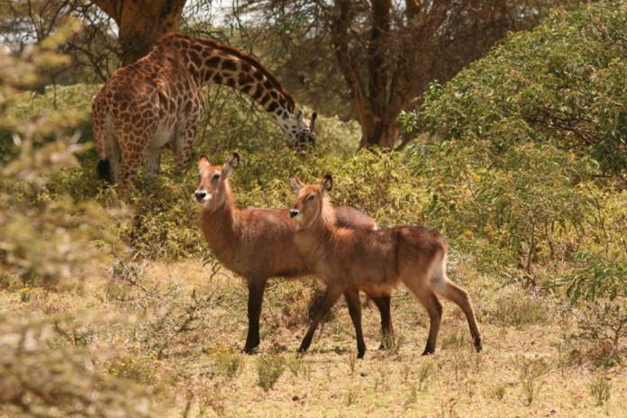 fauna v Keni