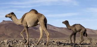 ťavy v maroku