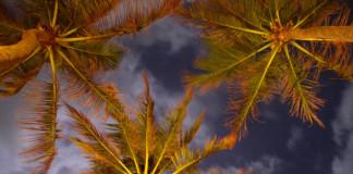 palmy na Srí Lanke