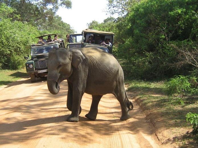 Srí Lanka safari, slon na ceste