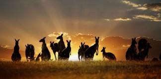 Austrália - klokany, rodinka