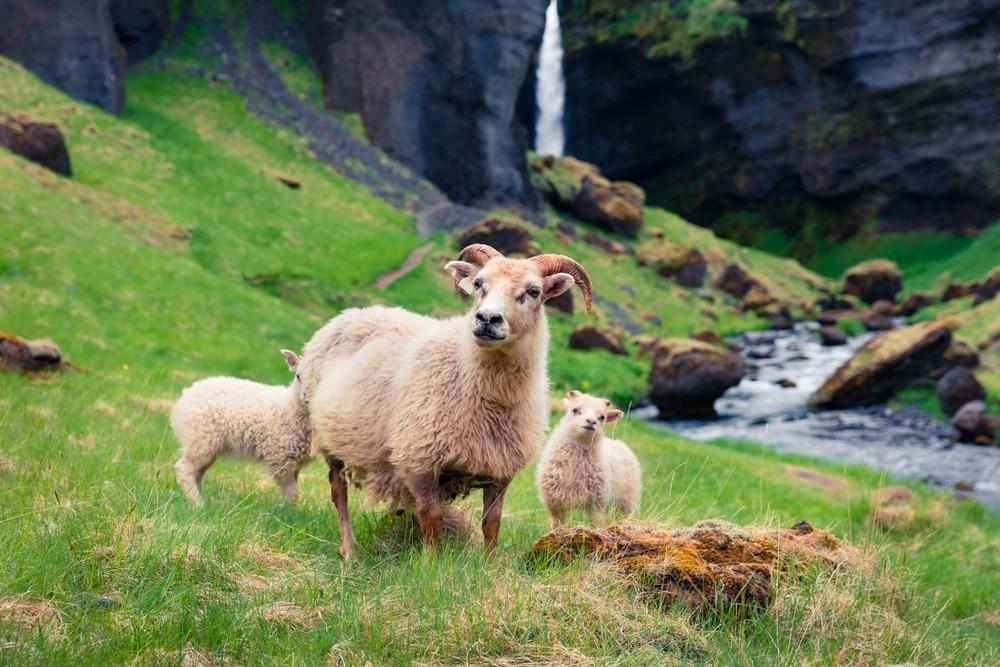 Islandské ovce