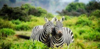 zebry v Južnej Afrike
