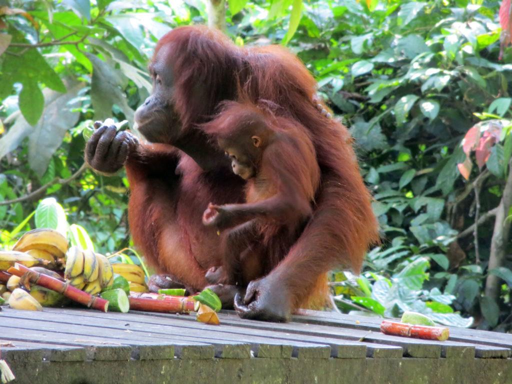 orangutany borneo malajzia