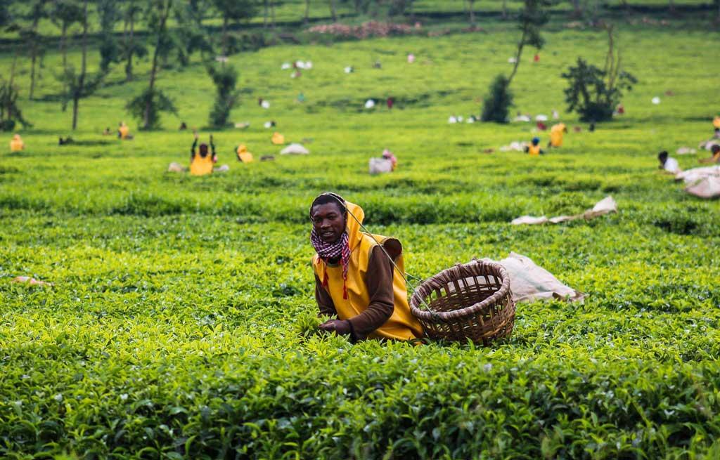 čajové plantáže Rwanda