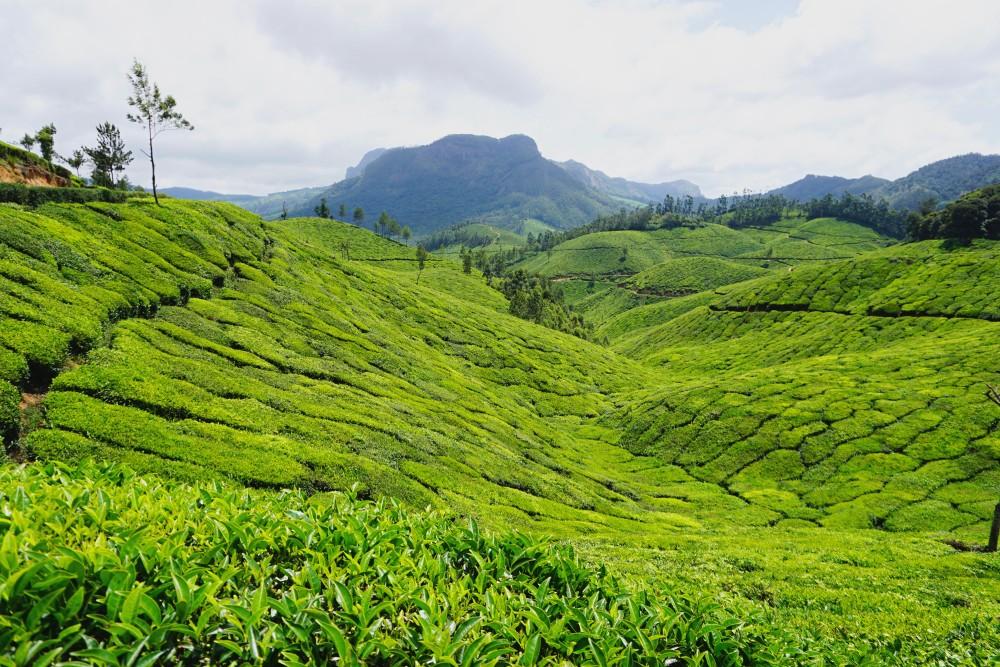 čajovníkové plantáže Munnar India