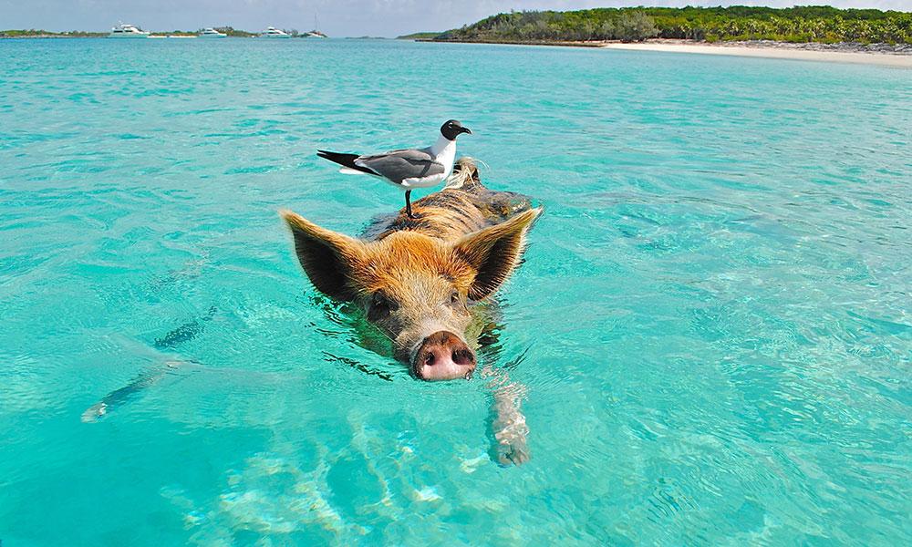 Bahamy, Pig beach