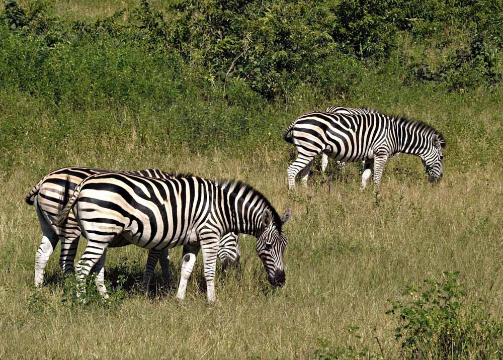 zebry safari