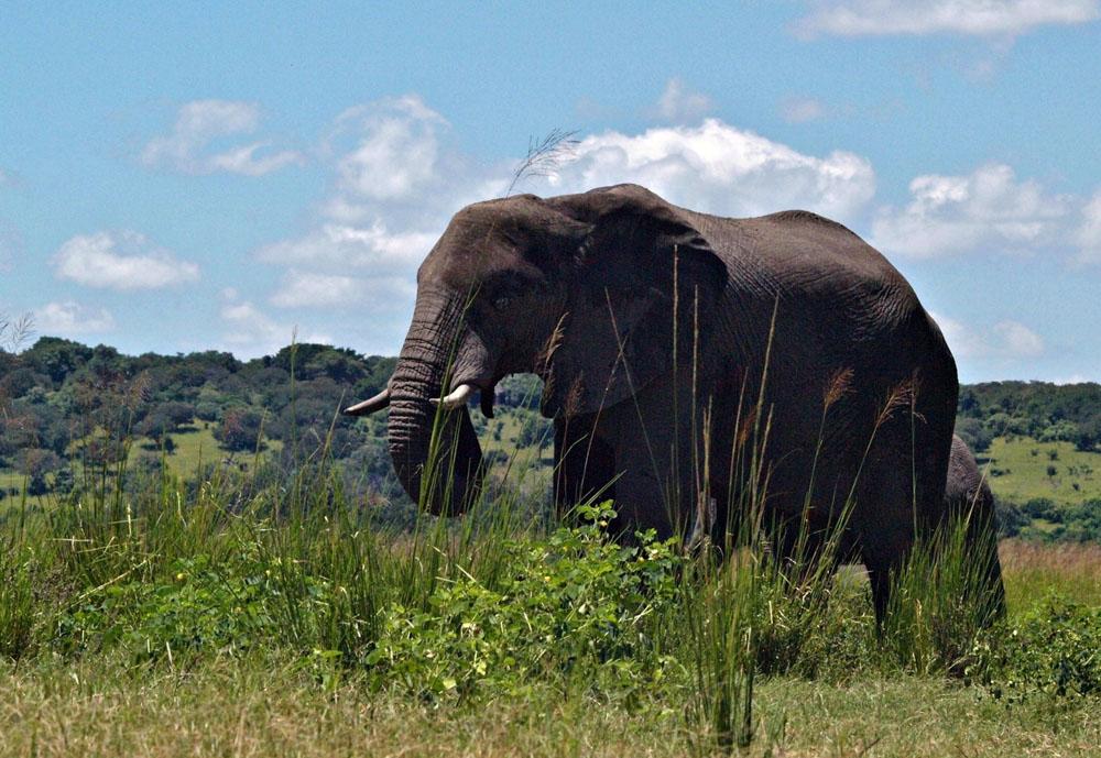 slon v Afrike v Safari