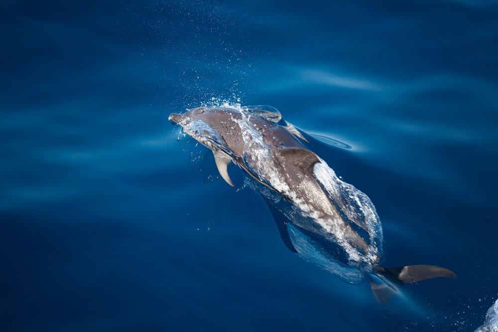 Delfíny a veľryby na Madeire