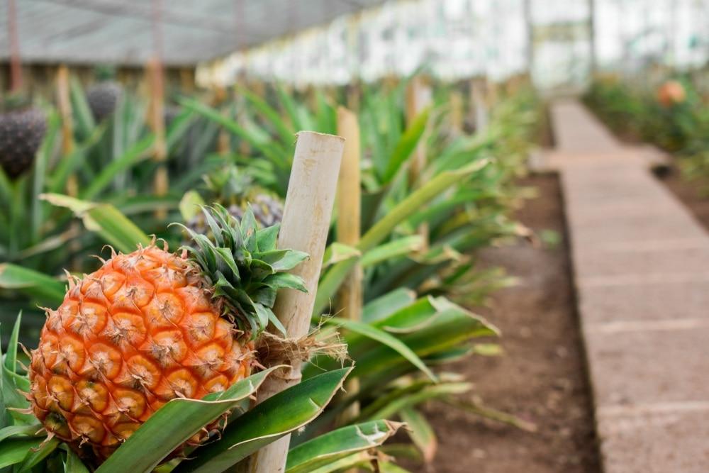 ananás azory