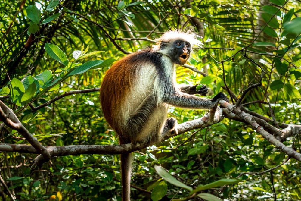 opica Guaréza červená